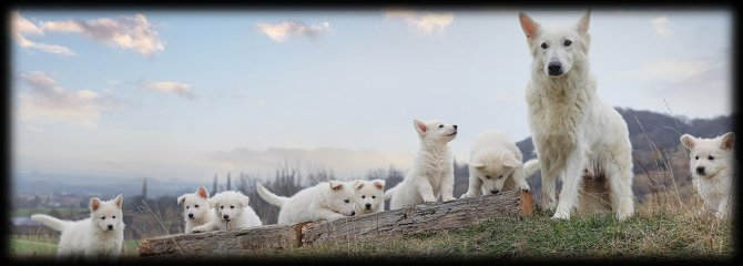 Weiße Schäferhunde of White Starlight